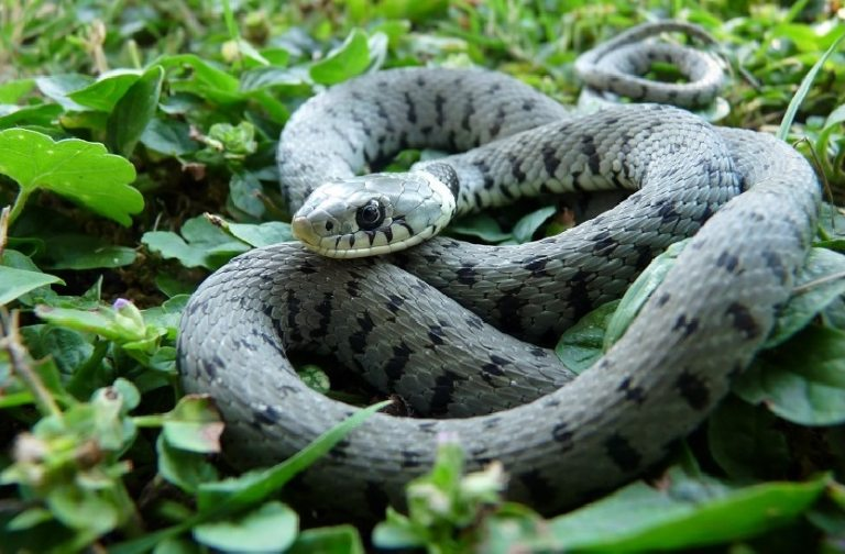 un bel serpente arrotolato nel bosco
